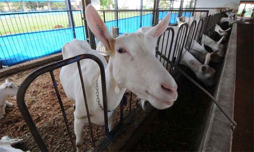 criação de caprinos e ovinos em Minas Gerais