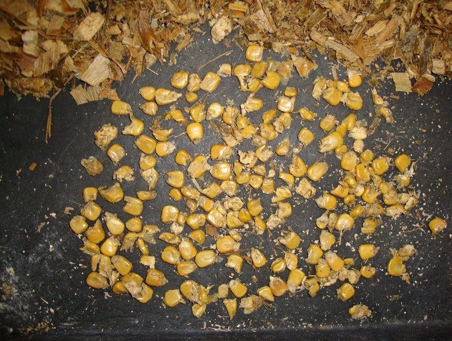 produção de silagem de milho - autopropelida