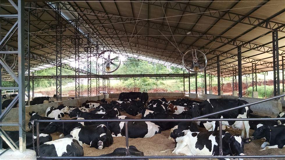 animais alojados em compost barn