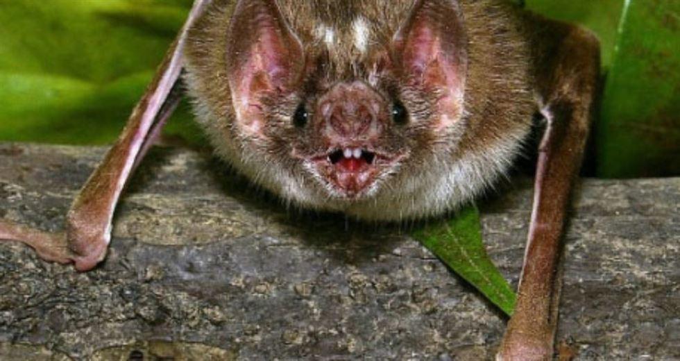 morcego desmodus rotundus raiva bovina